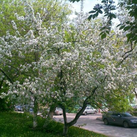 Яблоня Жигулевское: описание сорта, фото, отзывы, посадка
