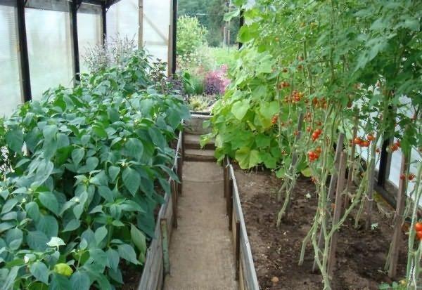 Когда в Сибири высаживать помидоры в теплицу