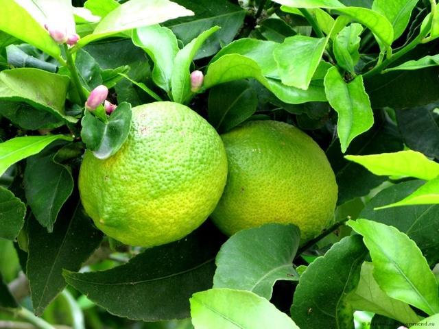 Чем отличается лайм от лимона: как выглядят, польза, отличия