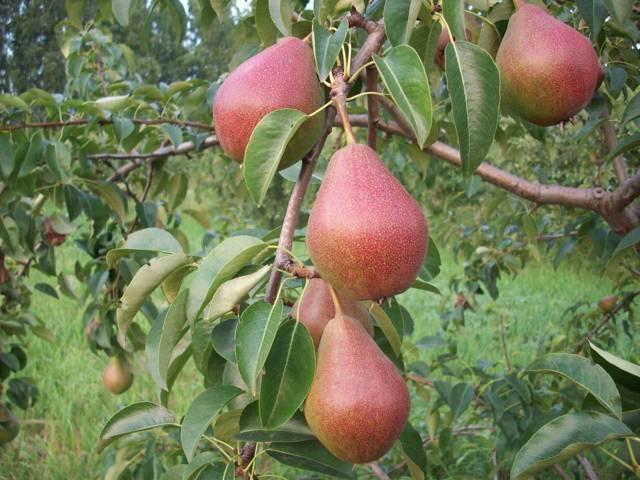 Посадка груши осенью: пересадка на новое место, как правильно посадить в Подмосковье, на Урале.