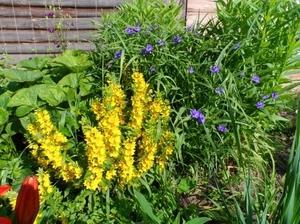 Неприхотливые садовые цветы многолетники