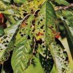 Черешня Рондо: описание сорта, морозостойкость, опылители, фото, отзывы