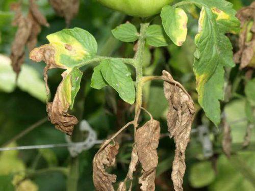 У рассады помидоров сохнут листья