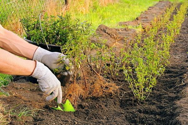 Живая изгородь из сирени: фото, как сделать своими руками, отзывы