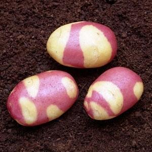 Оптимальная температура для посадки картофеля