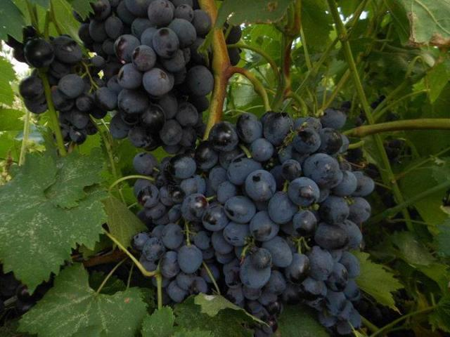 Виноград Сфинкс: описание сорта, фото, отзывы, видео