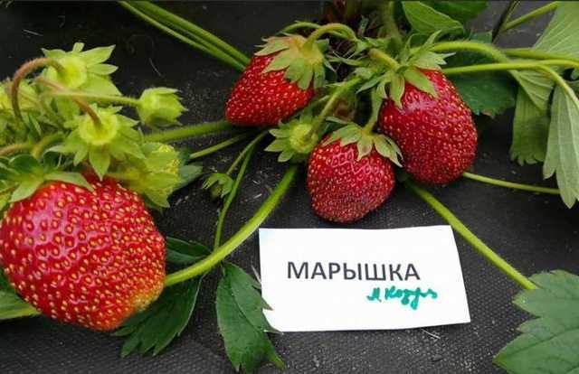Клубника Марышка: описание сорта, фото, отзывы