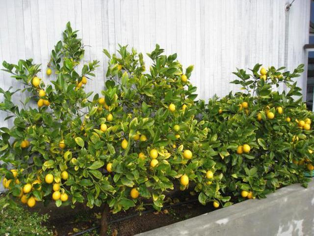Лимон: это фрукт или овощ, где и как растет, история и характеристика