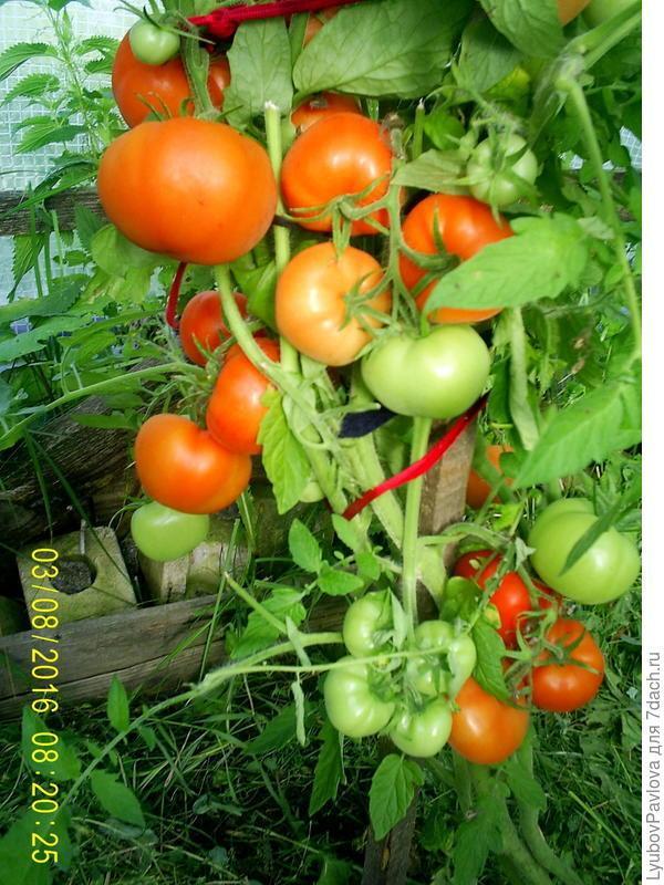 Томат Львович f1: описание сорта, фото, отзывы о помидорах