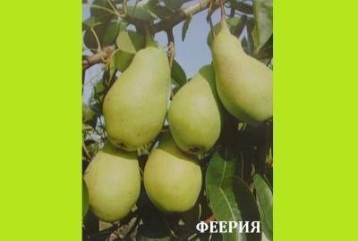 Груша Феерия: описание, фото, отзывы, характеристика сорта, посадка и уход