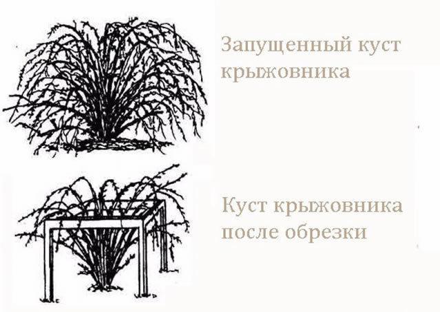 Крыжовник Колобок: описание сорта + фото, отзывы, посадка