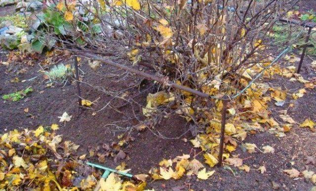 Обрезка смородины осенью для начинающих: схема, подробная инструкция, видео