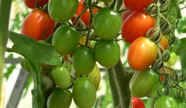 Китайский метод выращивания томатов + фото