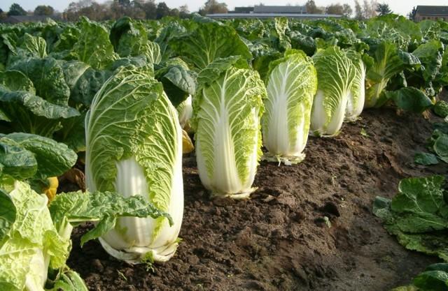 Технология выращивания пекинской капусты на Урале
