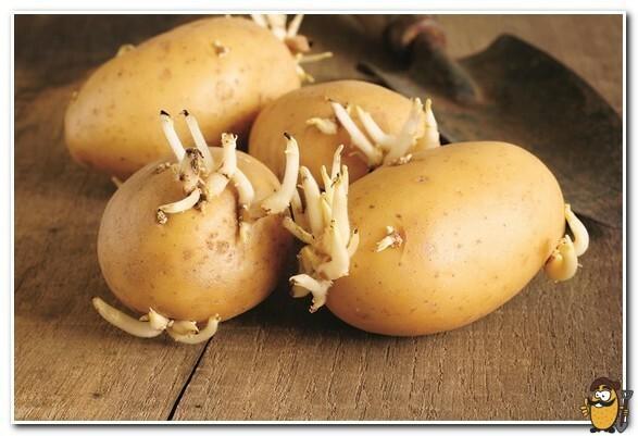Картофель Королева Анна: характеристика сорта, вкусовые качества, отзывы