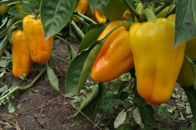 Перец Желтый бык: описание сорта, урожайность, уход, фото, отзывы