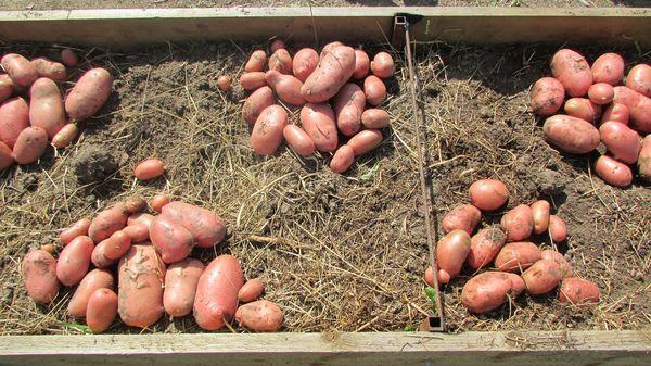 Посадка картофеля в апреле + фото