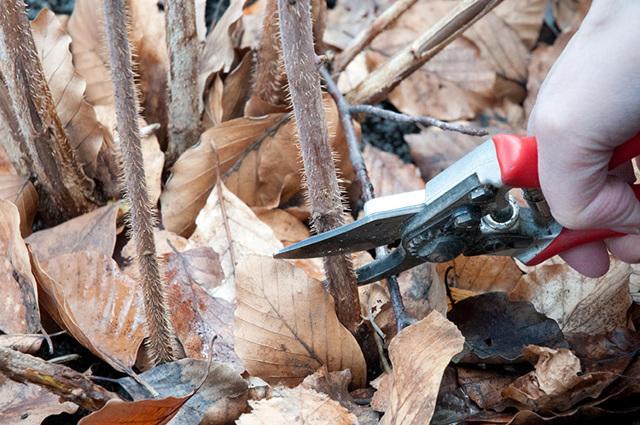 Как обрезать малину осенью: инструкция для начинающих