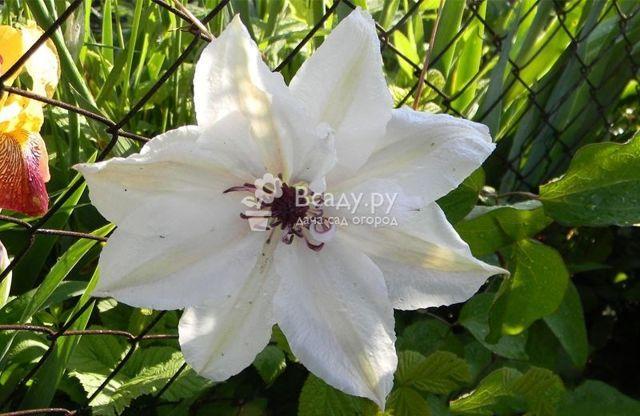 Клематис Тайга: описание сорта, морозостойкость, размер цветка, фото, отзывы