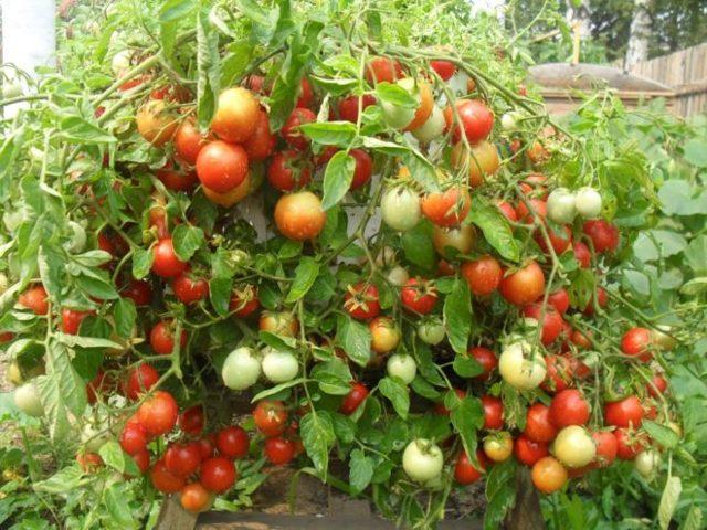 Томат Засолочный деликатес: описание сорта, отзывы, фото, урожайность