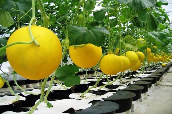 Дыня Золотистая: характеристика и описание сорта, правила выращивания
