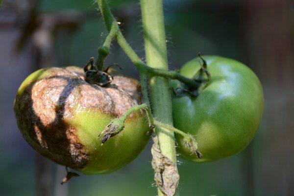 Фурацилин от фитофторы на томатах + отзывы
