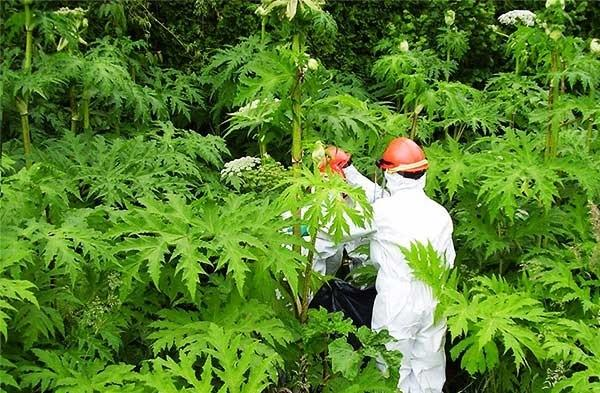 Как бороться с борщевиком: лучшие способы уничтожения растения