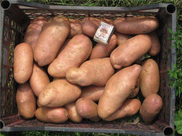 Картофель Алладин: описание сорта, фото, отзывы