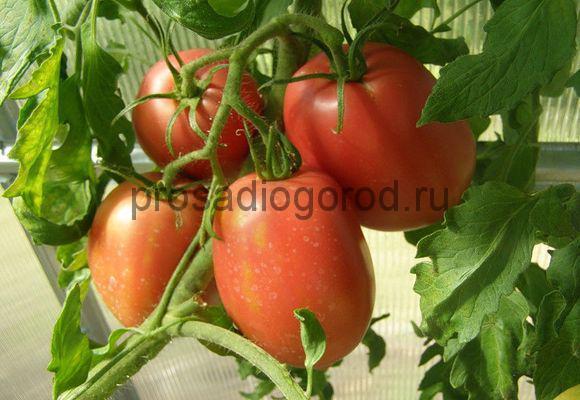 Томат Рио Гранде: описание сорта, фото, отзывы, урожайность