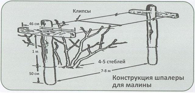 Как правильно подвязать малину: описание