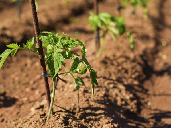 Применение нитрофоски для помидор
