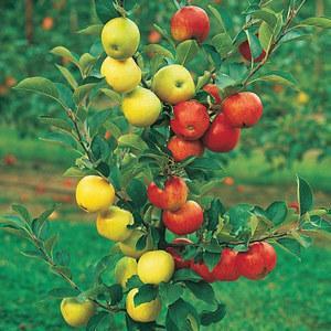 Прививка мостиком на яблоне