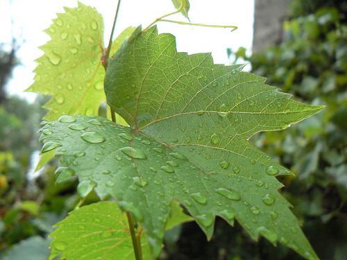 Виноград Изабелла: описание сорта, фото, отзывы