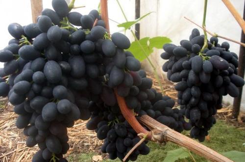 Виноград Кодрянка: описание сорта, фото, отзывы, видео