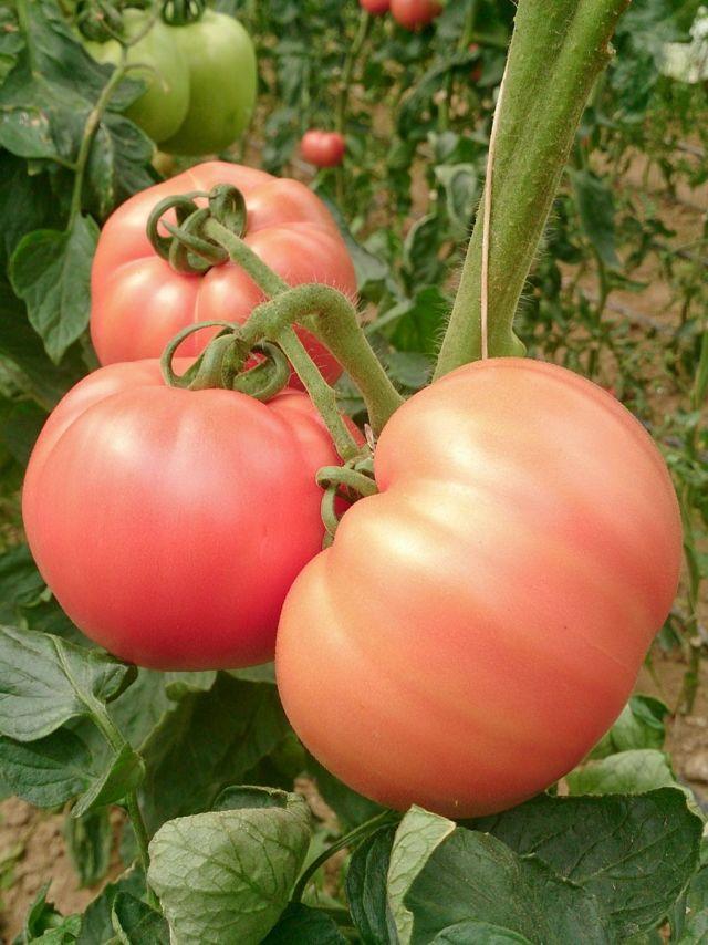 Томат Розовый царь: характеристика и описание сорта