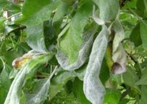 Болезни груши с фото и описанием: листья бледные, коричневые, краснеют, чем лечить, чем опрыскивать