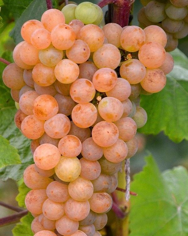 Виноград Платовский: описание сорта, фото, отзывы