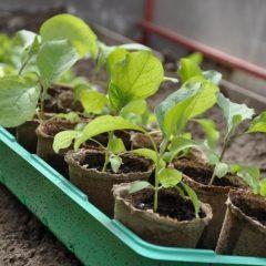 Народные средства для подкормки рассады томатов и перцев