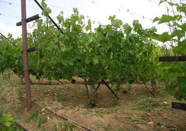 Виноград Анюта: описание сорта, фото, отзывы