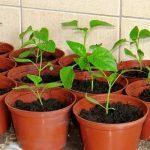 Засолить капусту в кастрюле: вкусный и быстрый рецепт засолки