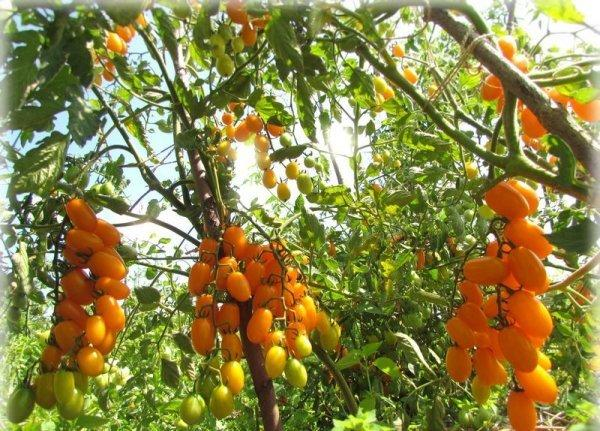 Томат Золотое руно: характеристика и описание сорта