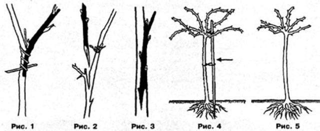 Штамбовая смородина: фото, как вырастить на штамбе своими руками, пошагово, как сформировать, как вырастить