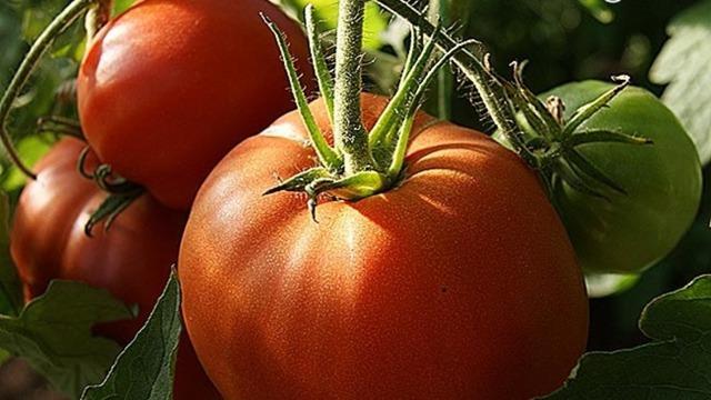 Томат Шапка Мономаха: описание, выращивание, фото, отзывы