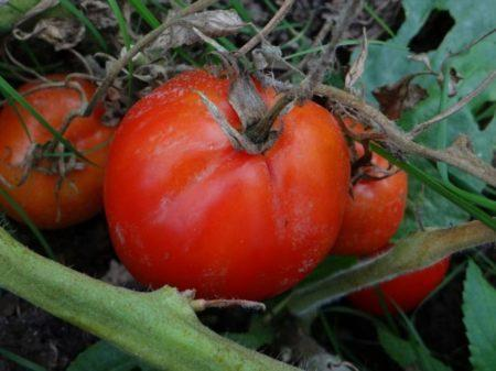 Томат Адамово яблоко: описание сорта, фото, отзывы