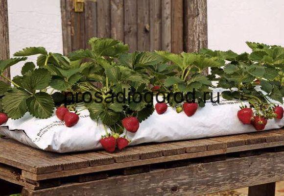 Выращивание клубники в мешках в домашних условиях