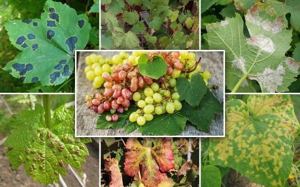 Виноград Ванюша: описание сорта, фото, отзывы, видео