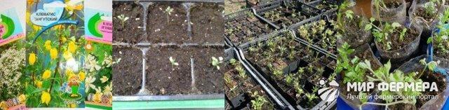 Посадка клематиса весной в открытый грунт: сроки, как правильно сажать, уход
