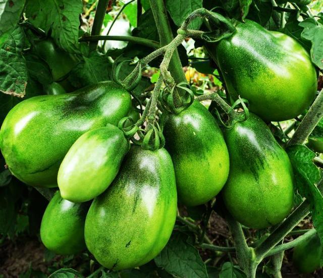 Семена лучших сортов томатов для открытого грунта