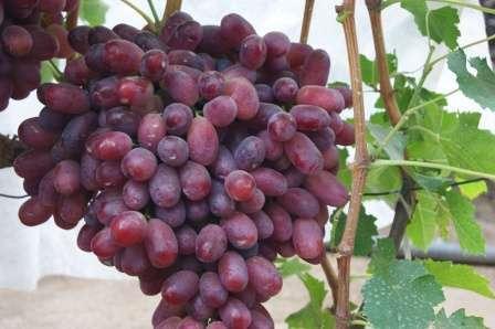 Виноград Алекса: описание сорта, фото, отзывы