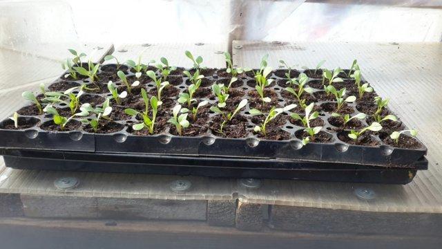 Выращивание георгины Фигаро
